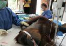 Hope, Orangutan 74 Peluru, Selesai Dioperasi