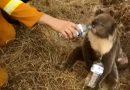 Ribuan Koala Diperkirakan Mati dalam Kebakaran Hutan di Australia