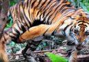 Corina, Harimau Sumatera yang Berhasil Dievakuasi