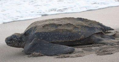 Pantai Sepi karena Corona, Penyu Belimbing Bisa Bertelur Bebas