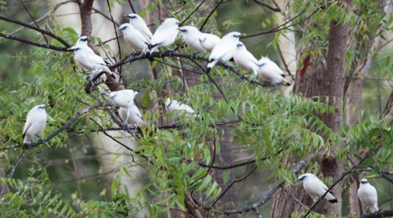 Terus Meningkat, Populasi Burung Curik Bali di Taman Nasional Bali Barat