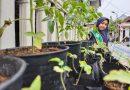 Budidaya Ribuan Tanaman Tomat, Bocah SD Ini Mengolahnya Jadi Beragam Produk